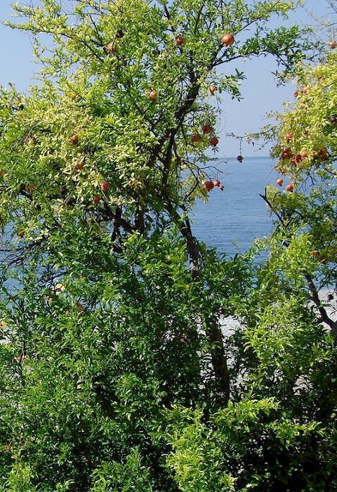 Гранатовое дерево и море в Гагре