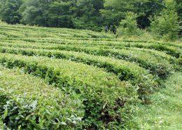 Плантации чая в Сочи