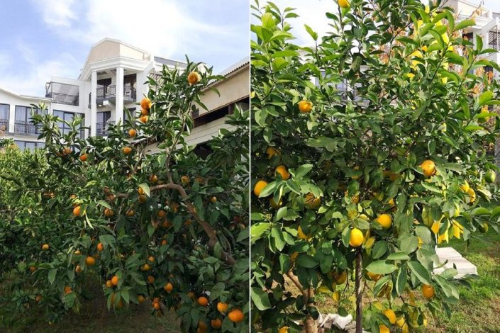 Фруктовый сад на территории отеля Гега, Гагра, Абхазия