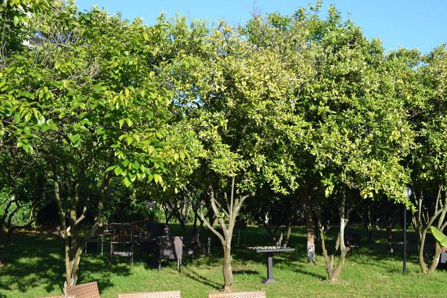 Мандариновый сад на территории отеля Папа