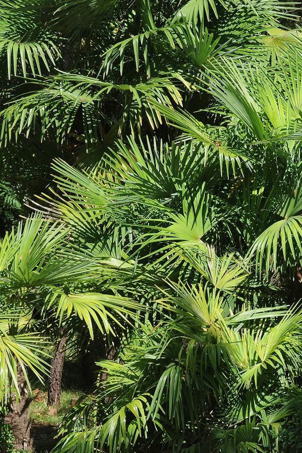Пальмы в Приморском парке