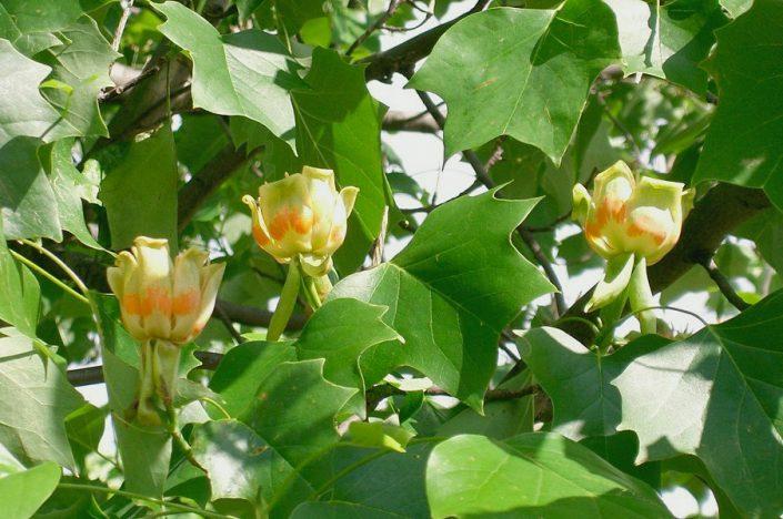 Тюльпановое дерево в парке